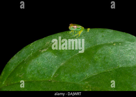 Young Orinoco Lime Tree Frog (Sphaenorhynchus lacteus) sitting on a leaf - Stock Photo