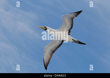 masked booby (Sula dactylatra) adult flying overhead against blue sky, Salvador, Brazil, South America - Stock Photo