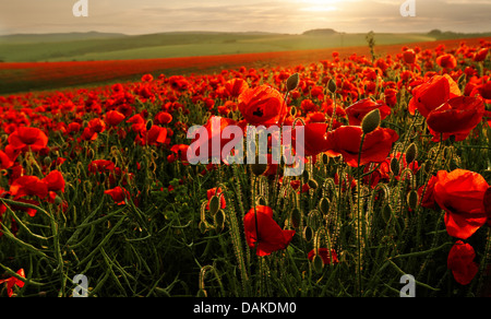 Field of poppies flowers on a strong backlighting from the sunset, Brighton, East Sussex, England, UK - Stock Photo