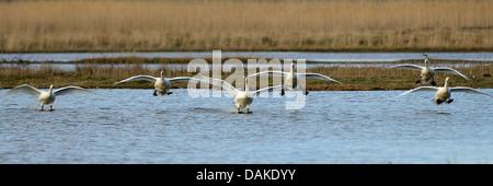 tundra swan (Cygnus columbianus), many tundra swans landing on the water, Netherlands, Texel - Stock Photo