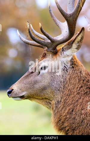 Portrait of deer stag in forest landscape - Stock Photo