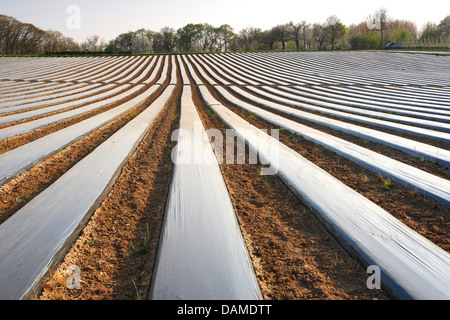 hybrid strawberry, garden strawberry (Fragaria x ananassa, Fragaria ananassa), strawberry field covered with foils, - Stock Photo