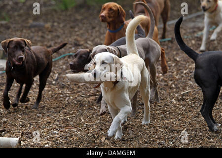 Dogs play together at a daycare centre for dogs in Leipzig, Germany, 06 June 2011. Dog-physiotherapist Rudolph offers - Stock Photo