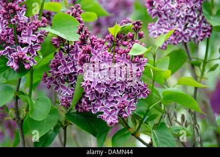 common lilac (Syringa vulgaris 'Sensation', Syringa vulgaris Sensation), cultivar Sensation - Stock Photo