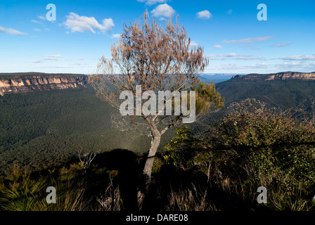A native tree with views over the Jamison Valley, at Sublime Point, Blue Mountains, Australia, with shadows cast - Stock Photo