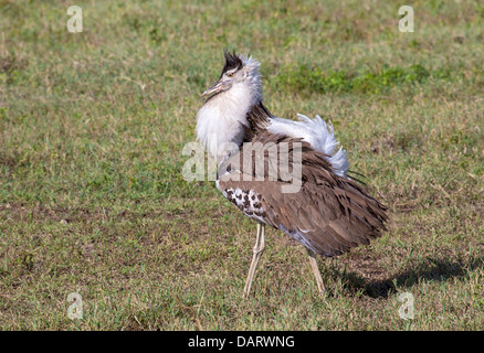Africa, Tanzania, Ngorongoro Crater. A male Kori Bustard in a courtship display on the floor of the Ngorongoro Crater. - Stock Photo
