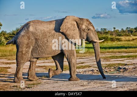 African bush elephant (Loxodonta africana), Chitabe, Okavango Delta, Botswana, Africa - Stock Photo