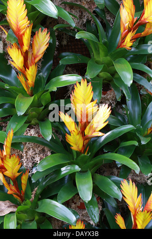 Hybrid of the Bromeliad Vriesea carinata, Bromeliaceae. - Stock Photo