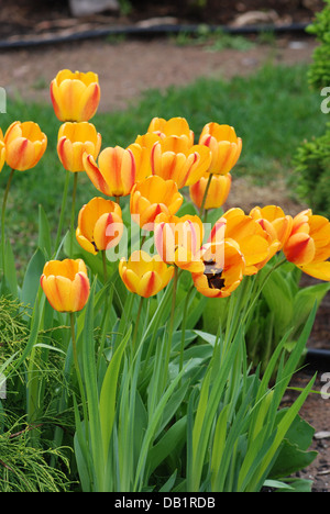 Yellow tulips in spring garden - Stock Photo