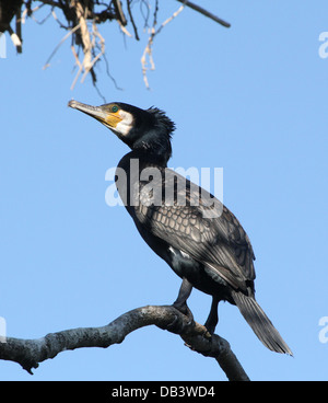 Detailed close-up of a Great Black Cormorant (Phalacrocorax carbo) - Stock Photo