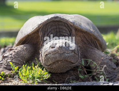 Female Snapping Turtle Closeup. Large turtle laying eggs at the side of a road.  Ottawa, Ontario, Canada - Stock Photo