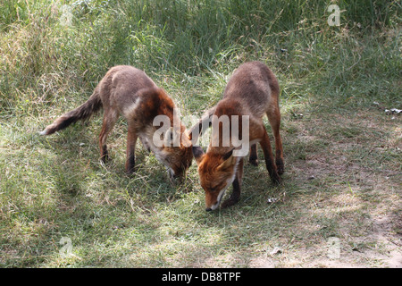 Close-up of mother and son red fox  (Vulpes Vulpes) - Stock Photo
