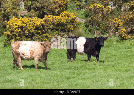 young brown/white and black/white Belted Galloway bulls on The Machars, Dumfries & Galloway, Scotland - Stock Photo