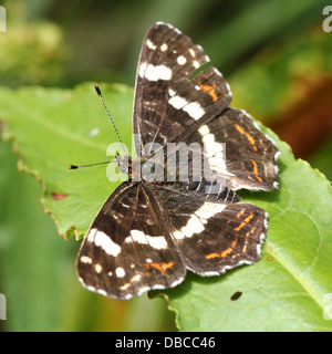 Close up  of a 2nd generation  European Map Butterfly (Araschnia levana) - Stock Photo