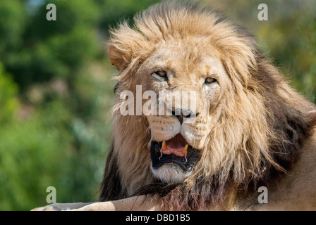 A close-up of a male lion - Stock Photo