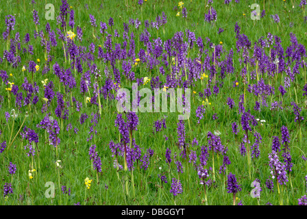 A field full of green-winged orchids and cowslips UK - Stock Photo