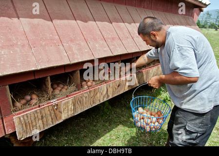 Farmer gathering 'free range' chicken eggs. - Stock Photo