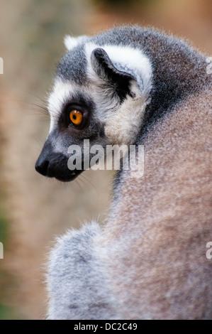 Ring-tailed Lemur, Lemur catta, Bronx Zoo, New York City, New York, USA - Stock Photo