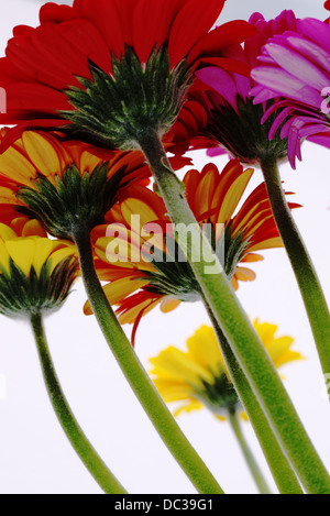 long hairy stems run up to brightly colored daisy blooms - Stock Photo
