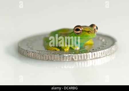Juvenile of Orinoco lime tree frog (Sphaenorhynchus lacteus) sitting on a coin, Tambopata Nature Reserve, Madre - Stock Photo