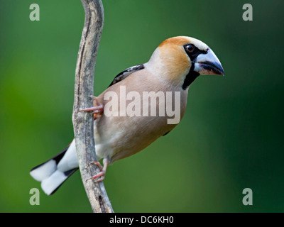 Male hawfinch perched on branch - Stock Photo