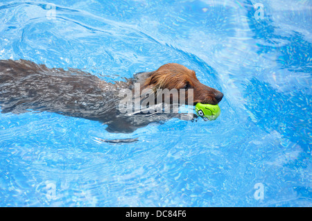 Little Dachshund dog swimming with a toy ball - Stock Photo