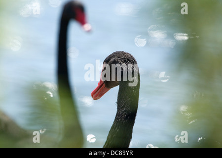 Black Swans (Cygnus atratus) at Slimbridge WWT, Gloucestershire. England. UK. - Stock Photo