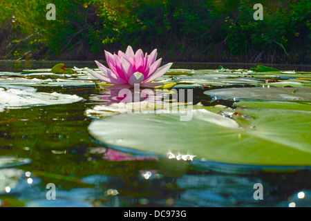 Water lilies in a lake. Waldsee, Gifhorn, Lower Saxony, Germany - Stock Photo