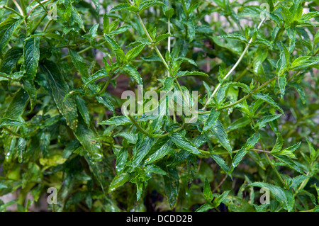 Mint plant growing in garden - Stock Photo