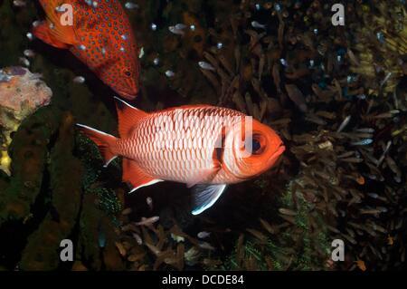 Blacktip soldierfish Myripristis melanosticta with cardinalfish Rinca, Komodo National Park, Indonesia - Stock Photo