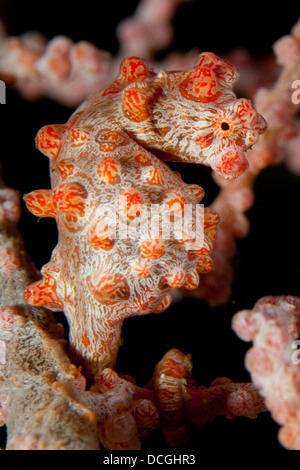 Pygmy seahorse (Hippocampus bargibanti), red variety, on sea fan, Lembeh Strait, Indonesia - Stock Photo