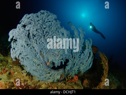 A very rare Blue Sea Fan, Acanthogorgia sp., found below 45 meters depth, with diver in background, Gorontalo, Indonesia. - Stock Photo
