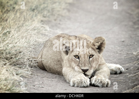 Young lion cub.Panthera leo Serengeti National Park . Tanzania - Stock Photo