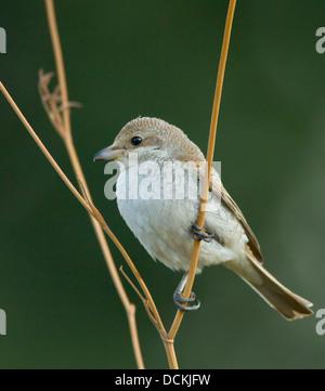 Juvenile red backed Shrike Lanius collurio perched on stem September - Stock Photo