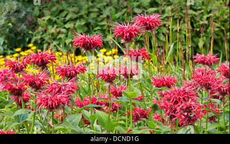 Striking red Monardia , Bergamot or Bee Balm in a herbaceous border at Waterperry Gardens in Oxfordshire UK - Stock Photo