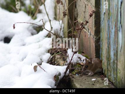 Wood Mouse, Apodemus sylvaticus, in snow, Peterborough, Cambridgeshire, UK - Stock Photo