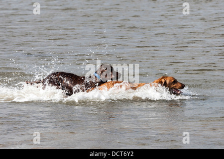 Two dogs playing, swimming in sea water at beach - Stock Photo