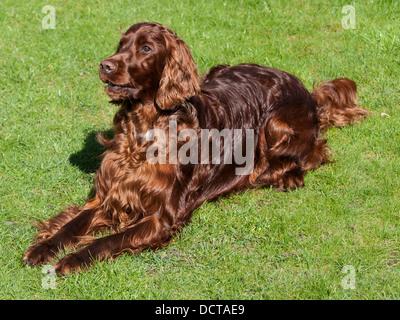 Irish setter sitting on garden lawn - Stock Photo