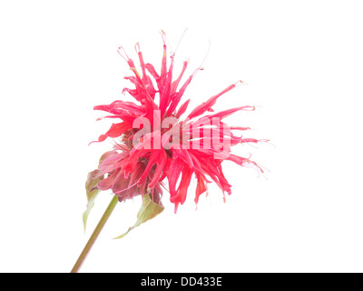 Bergamot flower on a white background - Stock Photo