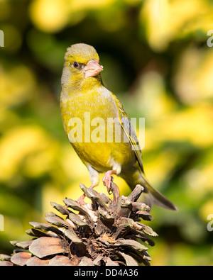 A European greenfinch (Chloris chloris) standing on a fir cone, front view, England - Stock Photo