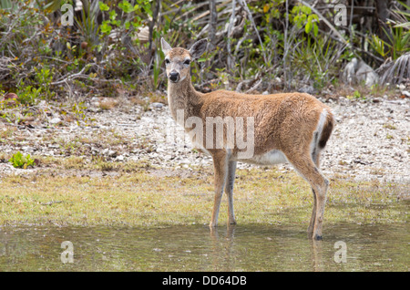 This is a portrait of a Key Deer - Stock Photo