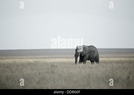 Lone elephant Serengeti Savannah. Tanzania Africa - Stock Photo