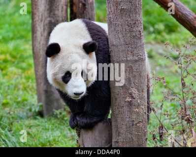 Giant Panda perched on tree. - Stock Photo