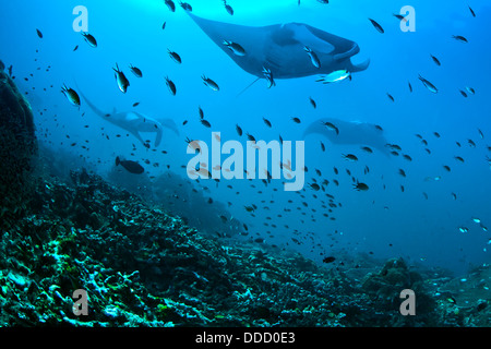 Giant manta rays approaching.Blue Magic cleaning station. Raja Ampat, Indonesia. - Stock Photo