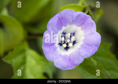 Nicandra physalodes. Shoo-fly plant flower. - Stock Photo