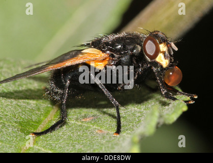 Noon Fly (Mesembrina meridiana) posing on a leaf and on a tree trunk and blowing bubbles (15 images in series) - Stock Photo