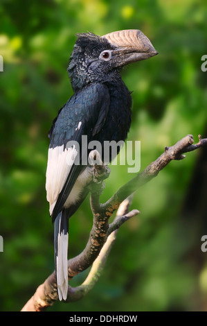 Silvery-cheeked Hornbill (Bycanistes subcylindricus), native to Africa, captive - Stock Photo