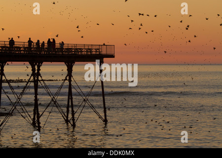 Common Starling (Sturnus vulgaris) flock in flight and roosting on the pier at sunset. Aberystwyth, Ceredigion, - Stock Photo