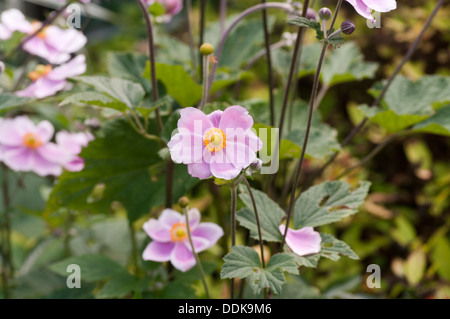 Violet Japanese Anemone Anemones hupehensis windflower or thimbleweed - Stock Photo