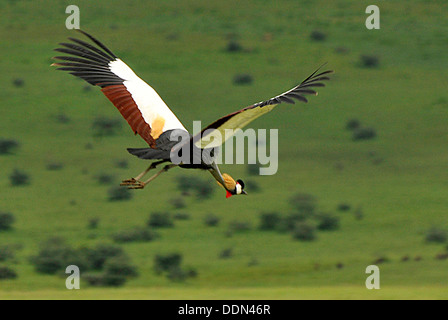 Grey Crowned crane in flight Tanzania Collection - Stock Photo